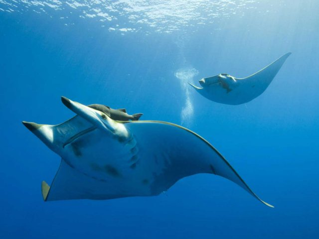 Dive-with-manta-rays